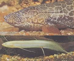 Protopterus aethiopicus aethiopicus (Protoptère d'Ethiopie)