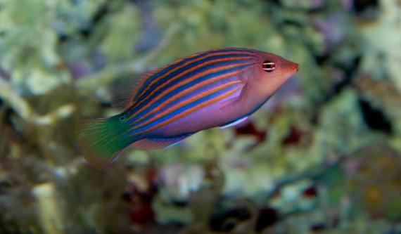 Pseudocheilinus hexataenia (Labre à six lignes)