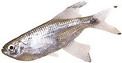 Pseudocorynopoma doriae (Cerf-volant)