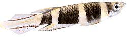 Pseudoepiplatys annulatus (Killi clown)
