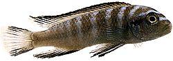 Pseudotropheus elongatus (Cichlidé allongé)