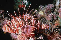 Pterois sphex (Pterois d'Hawaii)