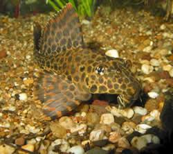 Pterygoplichthys gibbiceps (Pléco royal)