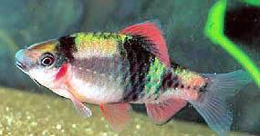 Puntius fasciatus (Barbus fraise, barbus feu)