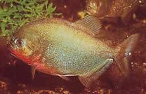 Pygocentrus nattereri (Piranha)