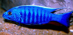 Scianochromis fryeri (Electric blue)