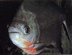Utiaritichthys sennaebragai (Piranha à ventre rouge)