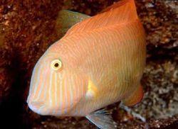 Xyrichthys novacula (Poisson-rasoir perle)